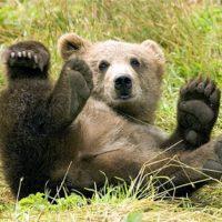 les avocats de microsoft sonnent la chasse a lours 200x200 - Un prodige de 11 ans transforme un ours en peluche en véritable menace