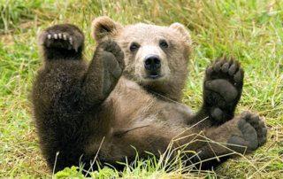 Les avocats de Microsoft sonnent la chasse à l'ours